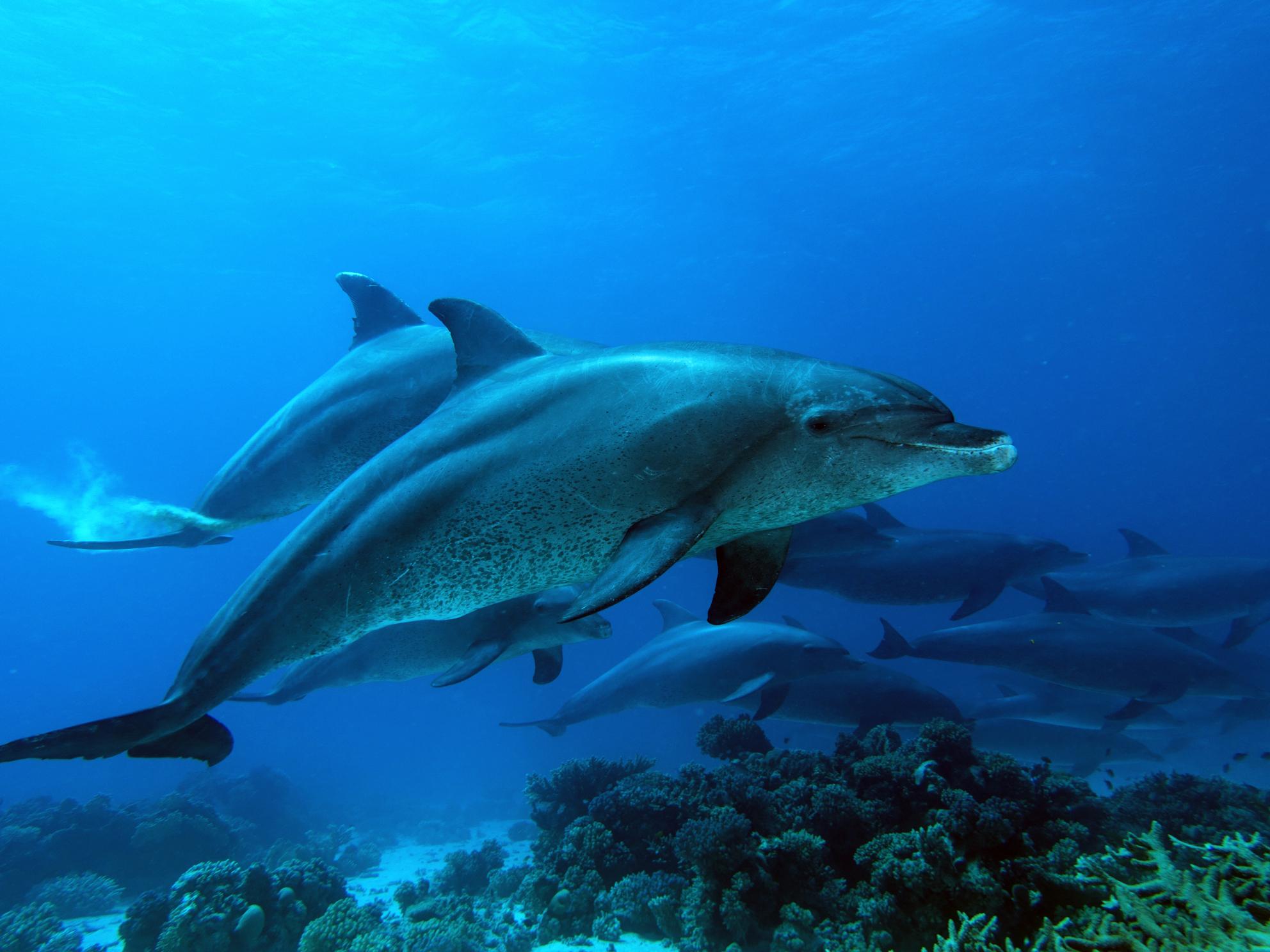 Delfinrudel