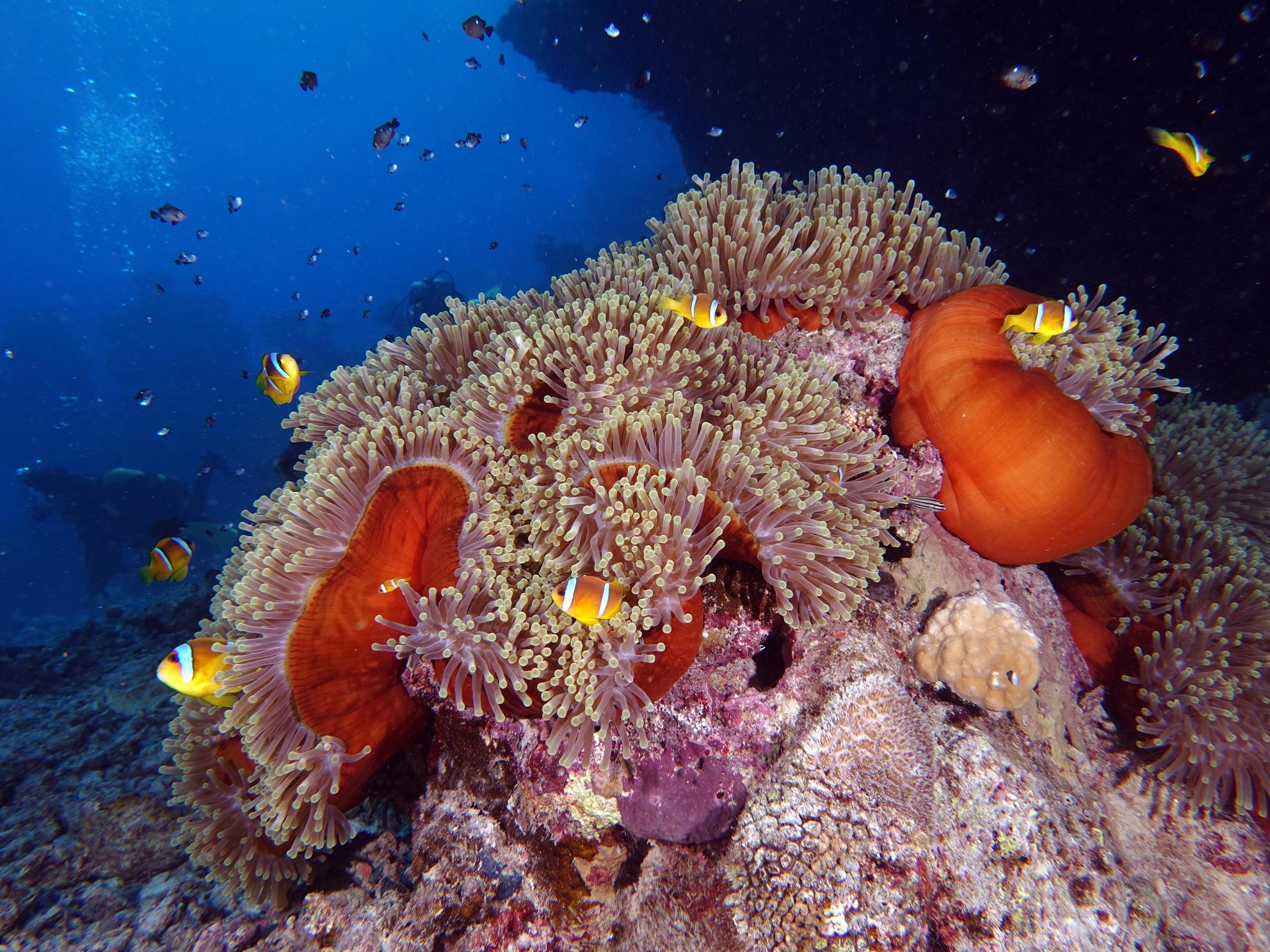 Anemone Clownfische