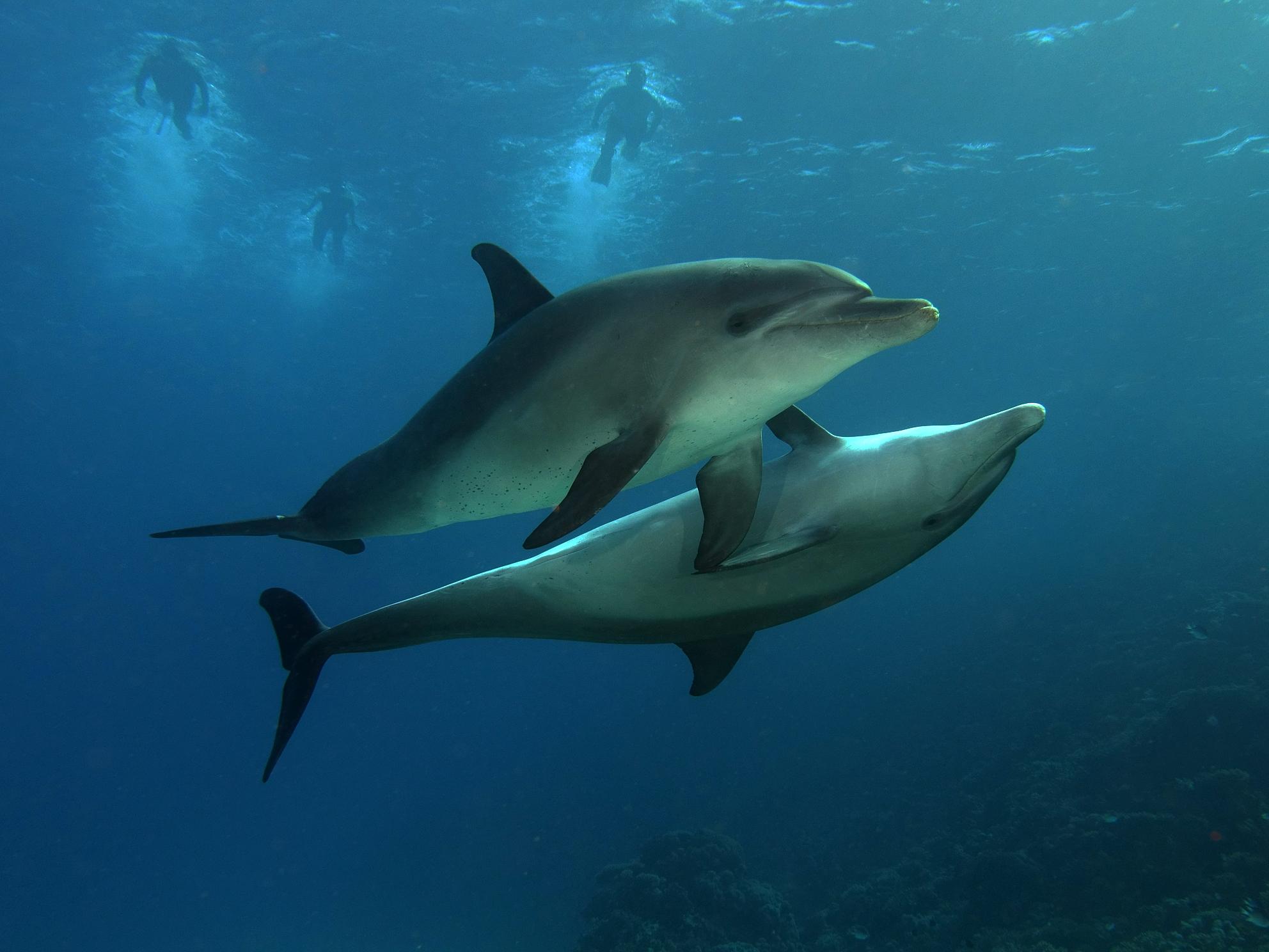 Dolphin-Hurghada