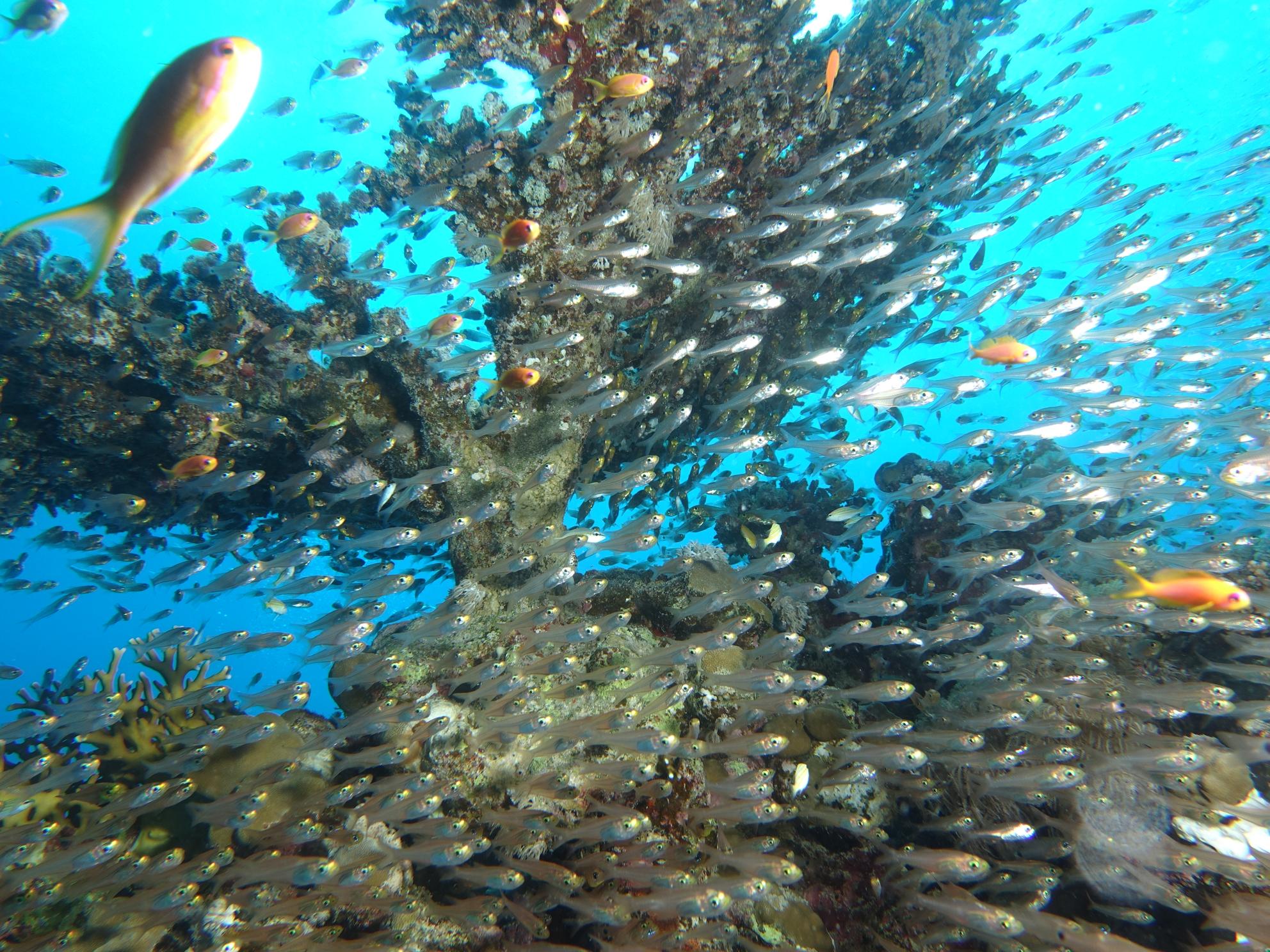 Tischkoralle Glasfisch