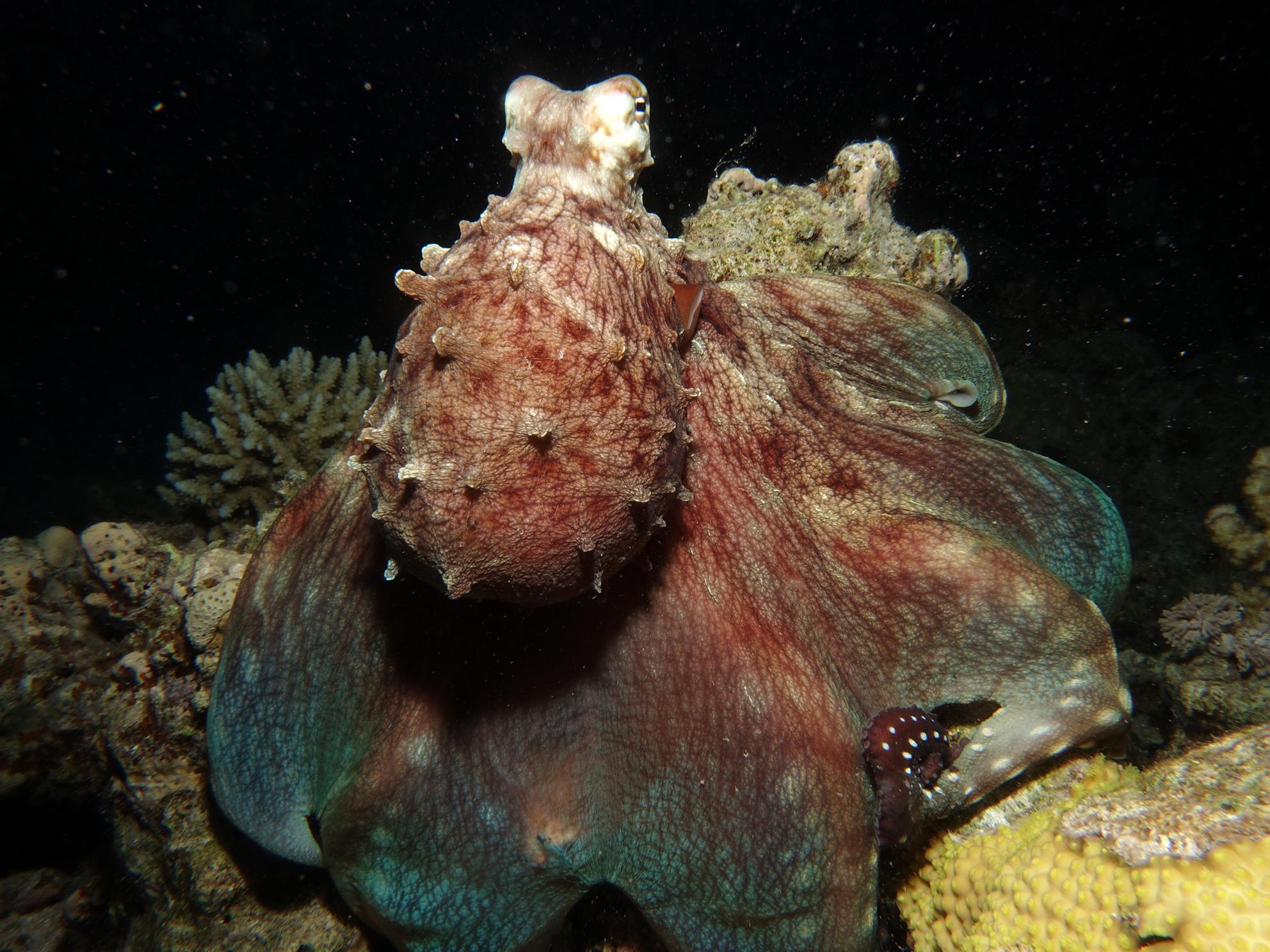 Oktopus Tauchausfahrt