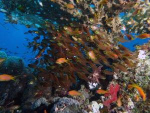 Korallen Glasfisch