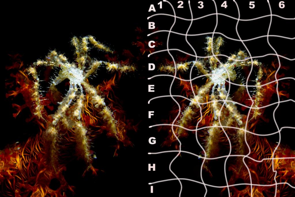 Weichkorallen-Spinnenkrabbe