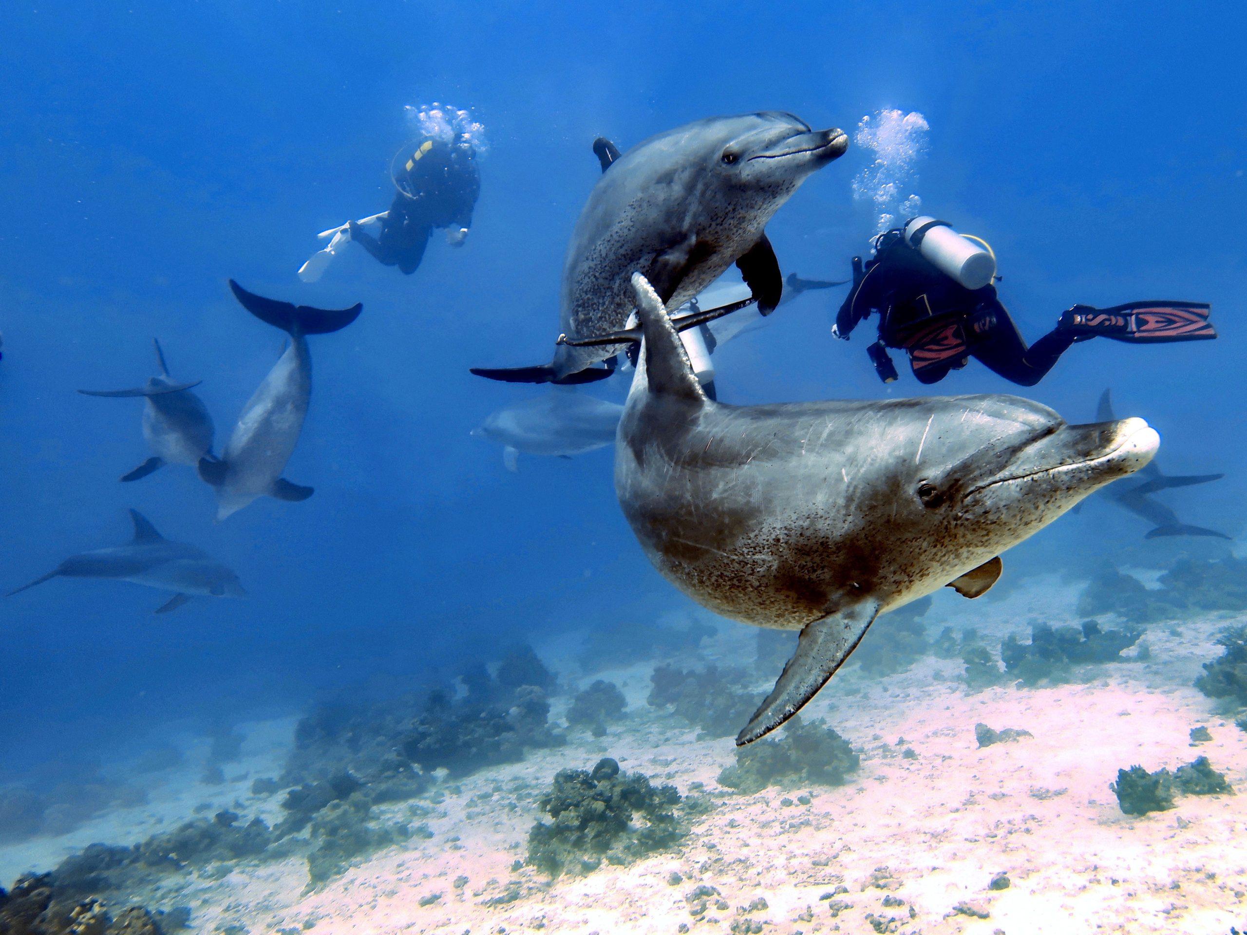 Delfin Taucher
