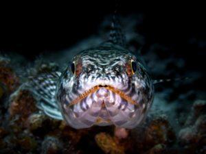 Eidenchsenfisch