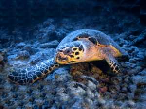 Schildkröte Riff