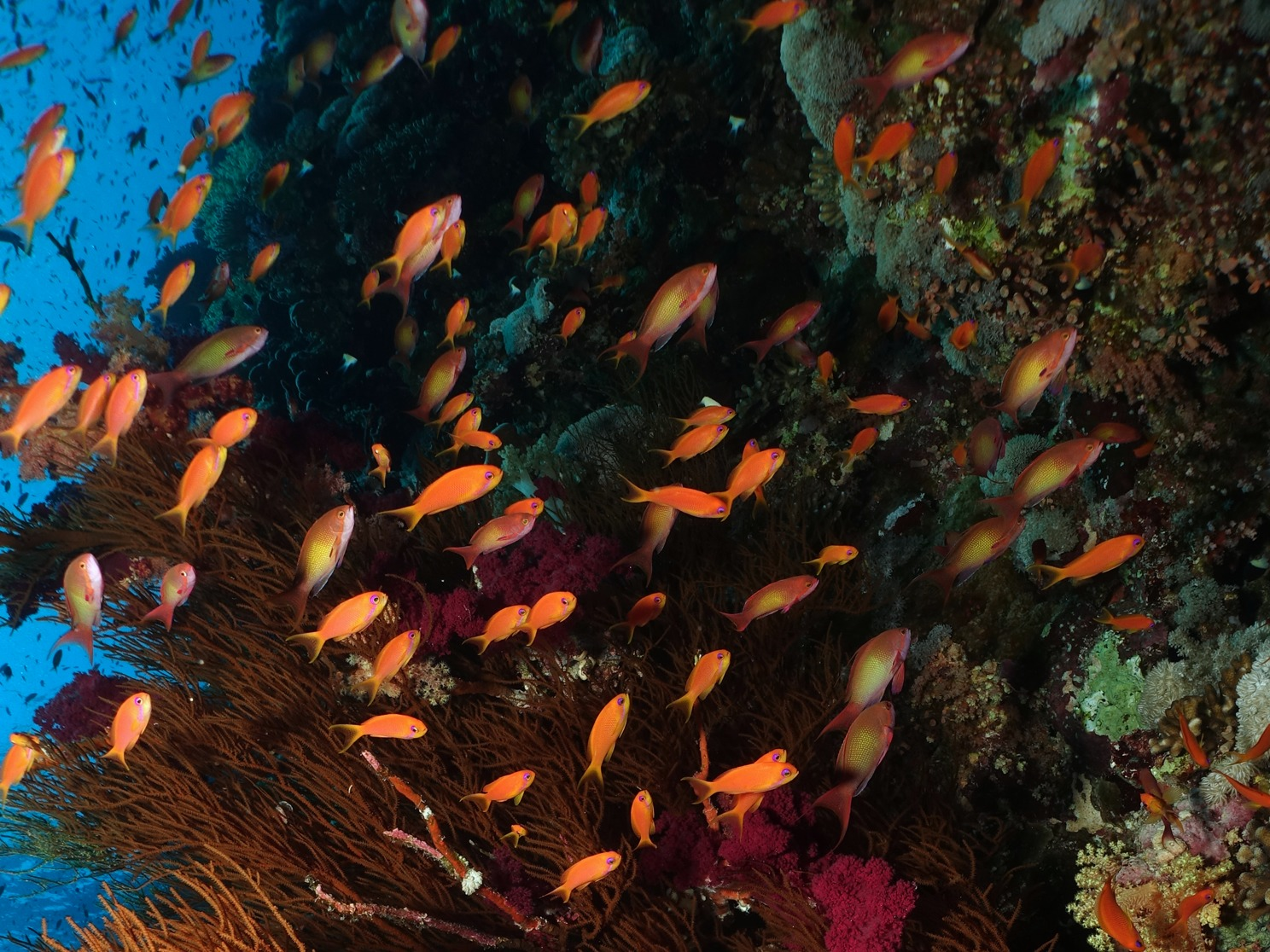 Fahnenbarsche Riff