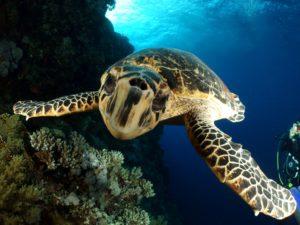 Ein Schildkröte führte den Tauchgang