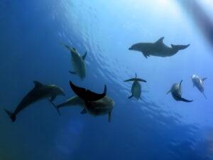 Große Delfinparade bei Shaab Tiffany