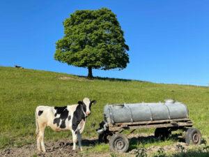 Kuh Weide Memmingen