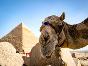 Wochenrundschau Kamel