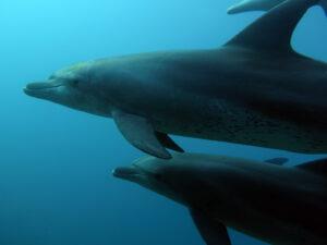 Dolphins-Hurghada